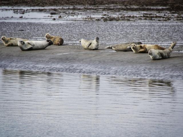 Seehunde auf einer Seehundbank vor Baltrum